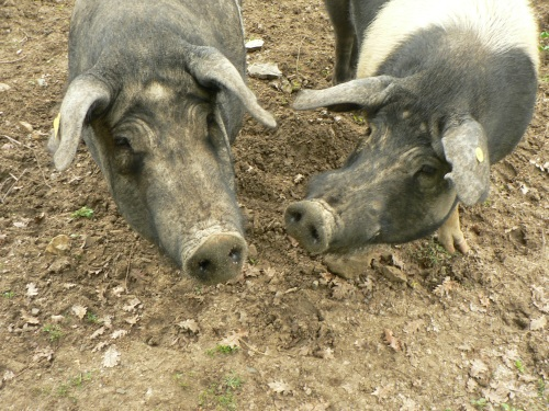 The extremely charismatic Sienese pig - the source of some very fine prosciutto.