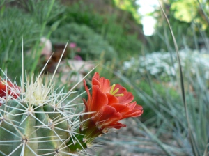 Claret cup cactus, a Colorado native