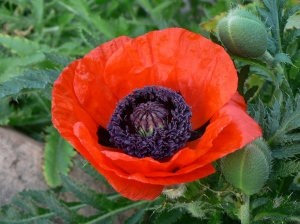 One glorious poppy.