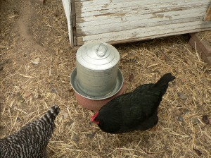 Galvanized steel poultry waterer.