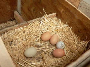 4 eggs and a golf ball (left there as a deterrent to egg-pecking).