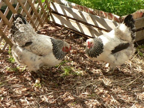 The Brahma sisters, Tandoori and Pot Pie. Tandoori has more dark markings on her back, a really pretty girl. Pot Pie (right) is quite the little renegade; she refuses to go into the pen in the evening and always gives us a run for our money. Perhaps a better name would have been Houdini...